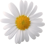 camomile_PNG666[1]